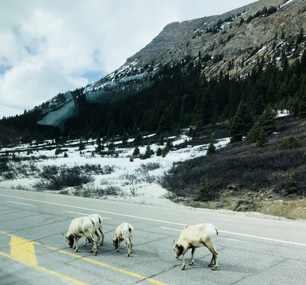 sheeps of banff