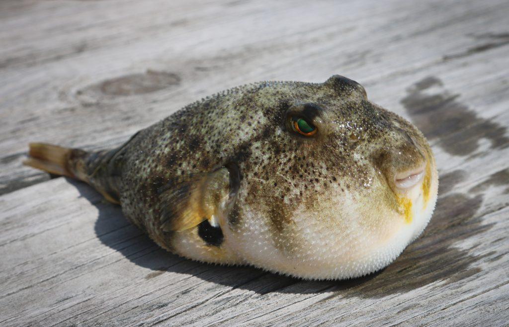 Japanese Fugu